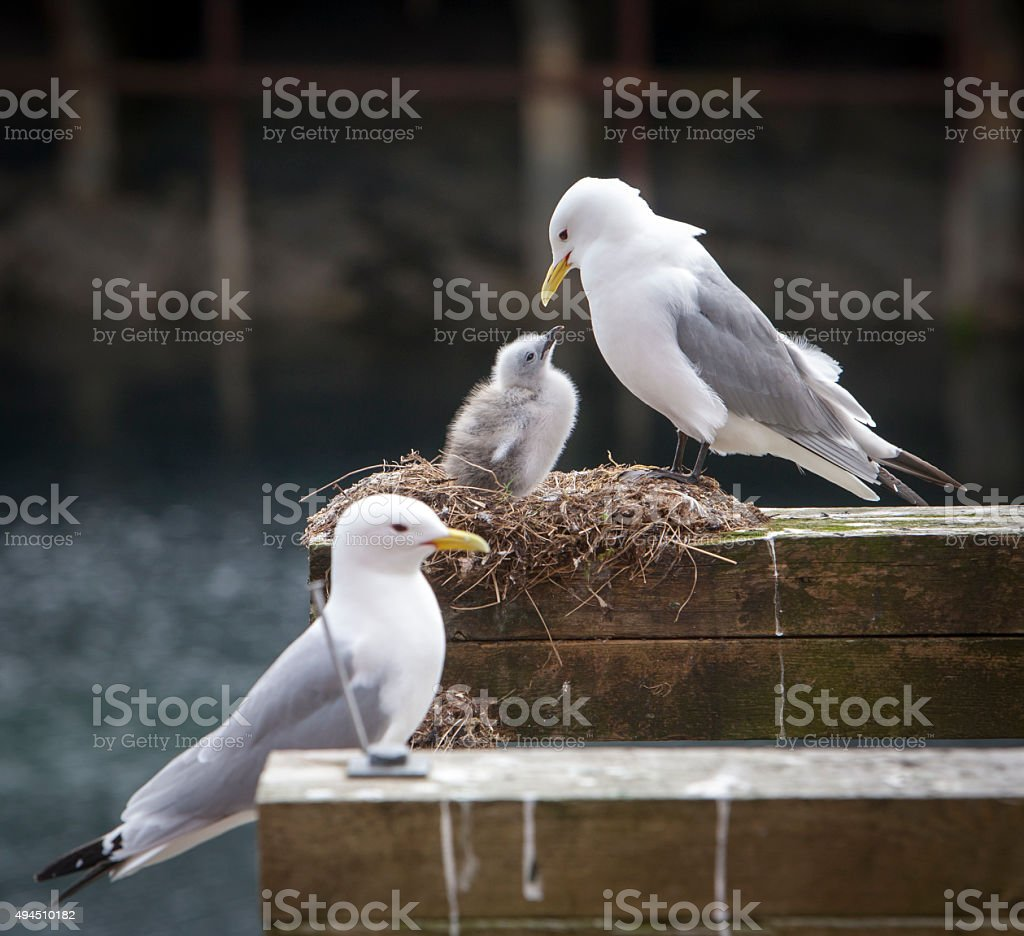 seagulls,family stock photo