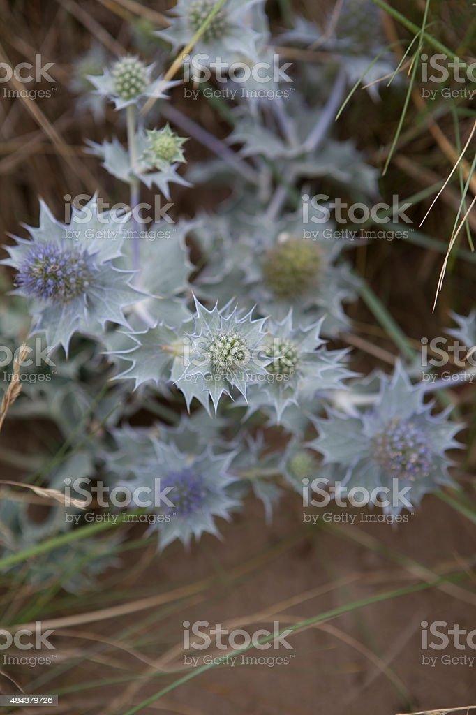 Sea-holly Eryngium Maritimum stock photo