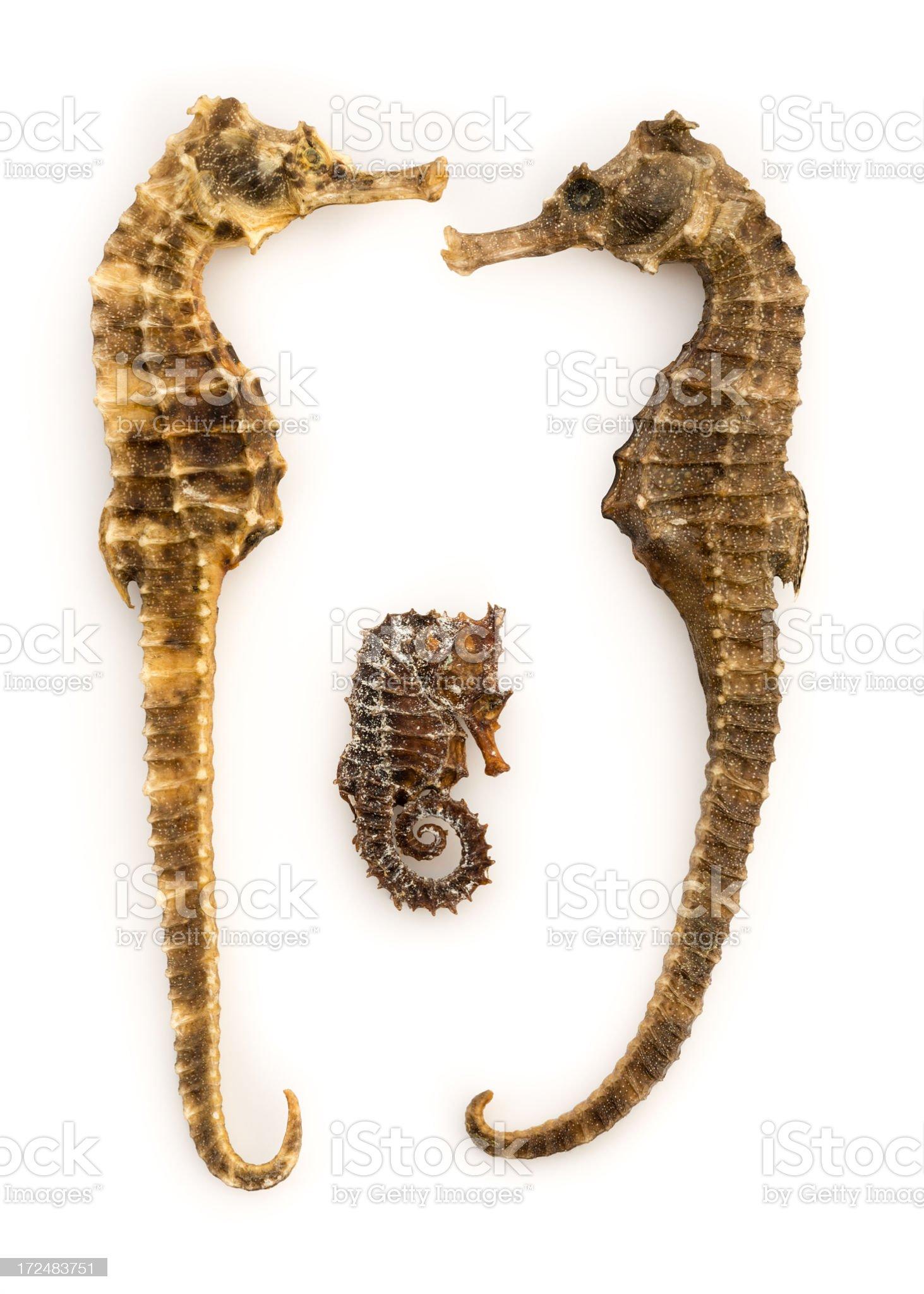 Seahorse royalty-free stock photo