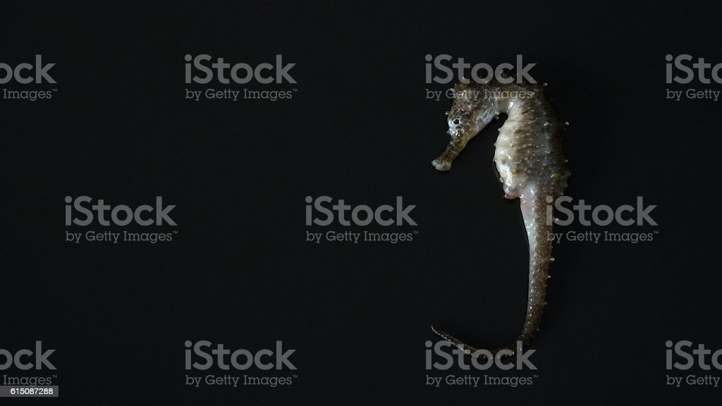 seahorse (Hippocampus) swimming Isolated on black. stock photo
