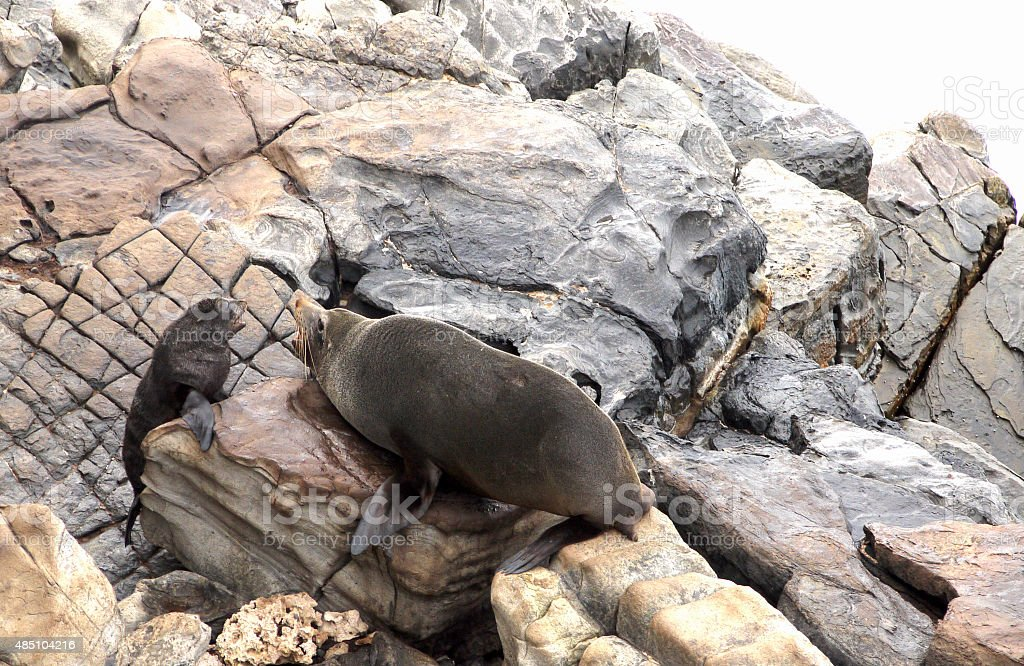 Seal adult with pup stock photo
