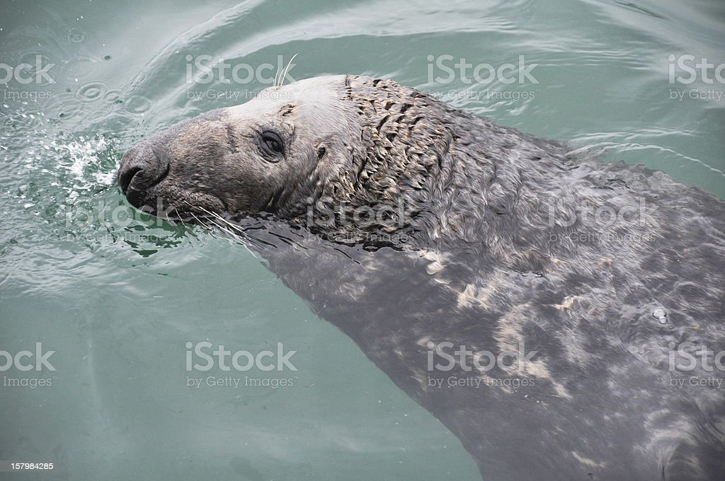 Seal at Howth harbour, Ireland stock photo