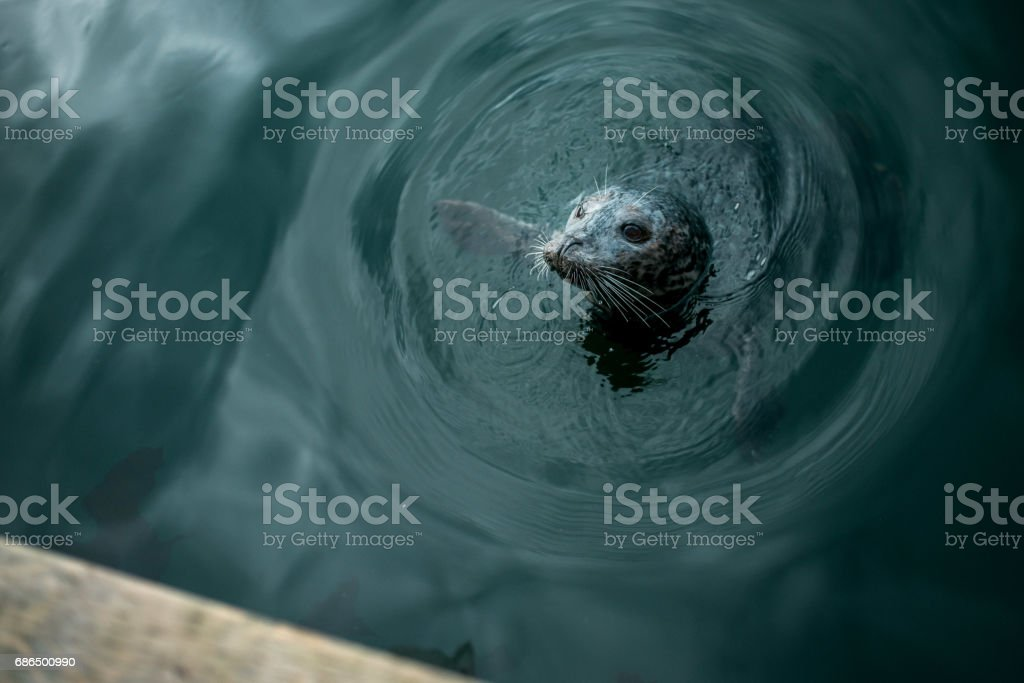 Seal at Inner Harbour stock photo