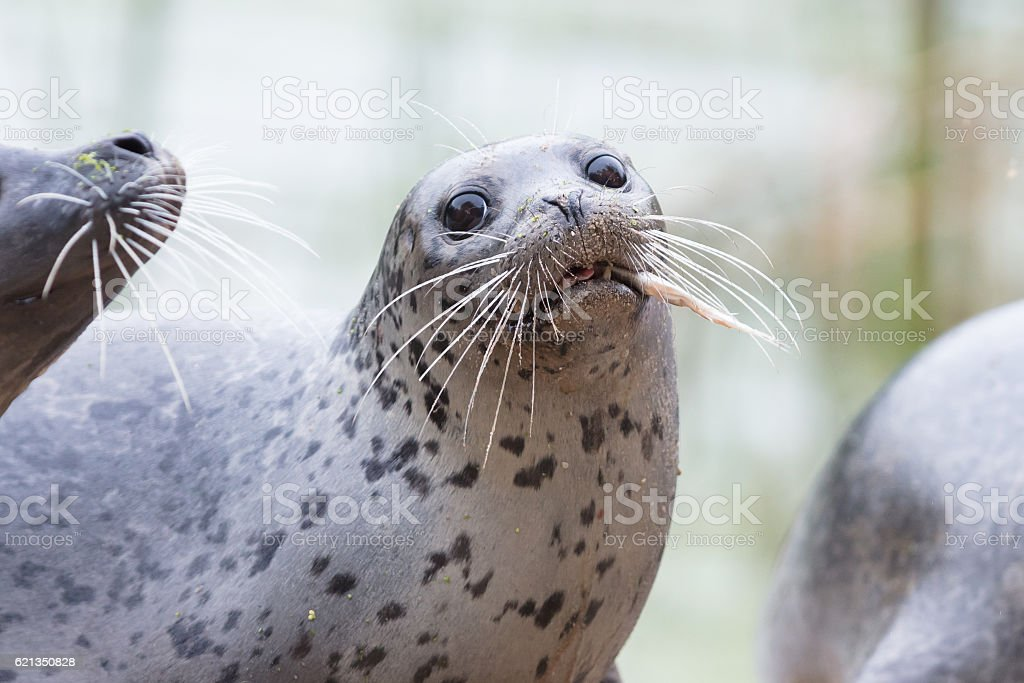 Seal being fed stock photo