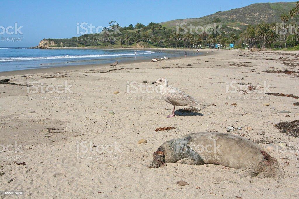 Seal carcass washed ashore royalty-free stock photo