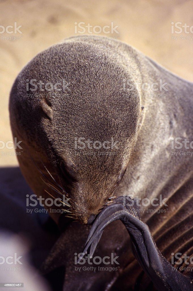 seal close-up royalty-free stock photo