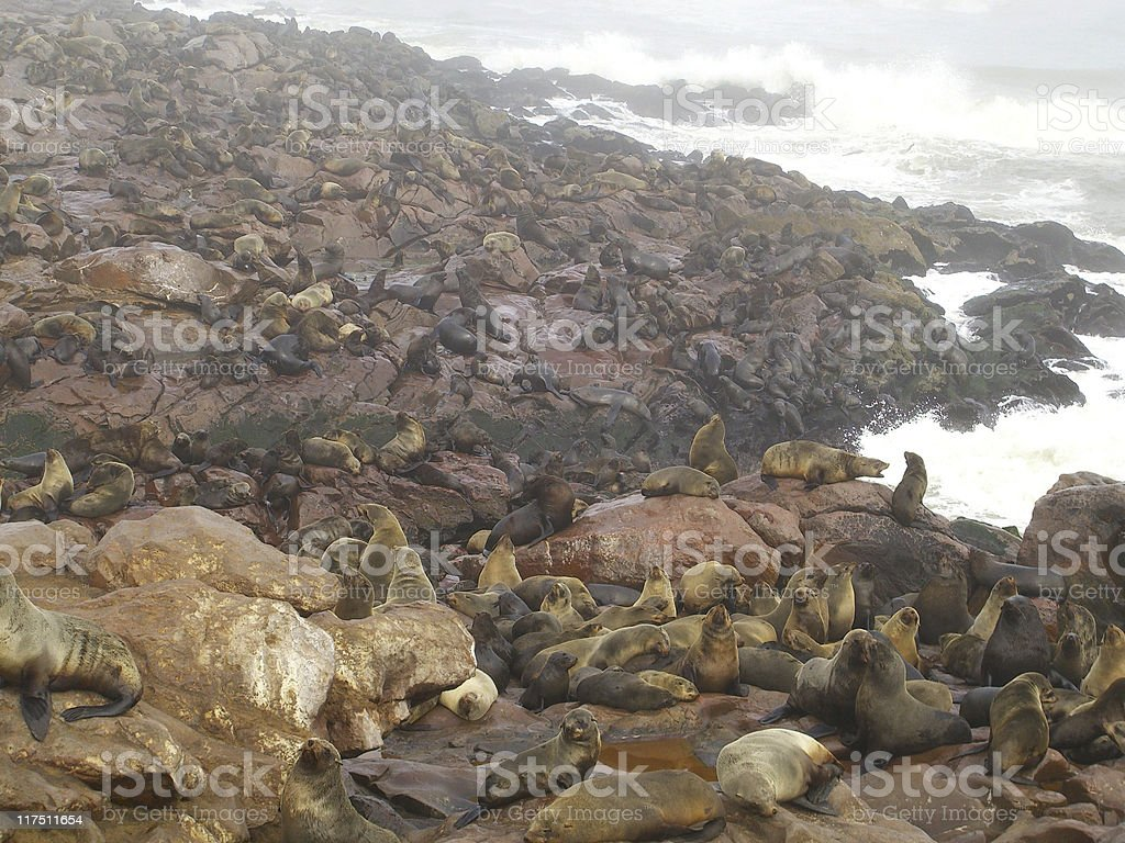 Seal Colony in Namibia, Africa royalty-free stock photo