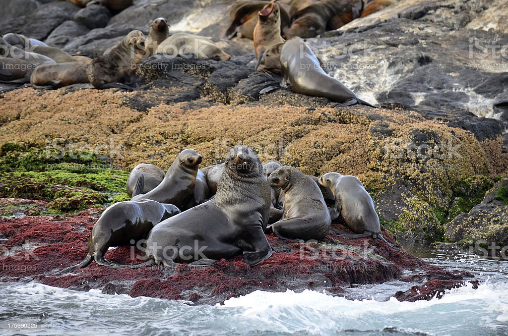 Seal Colony on Rocky Outcrop royalty-free stock photo