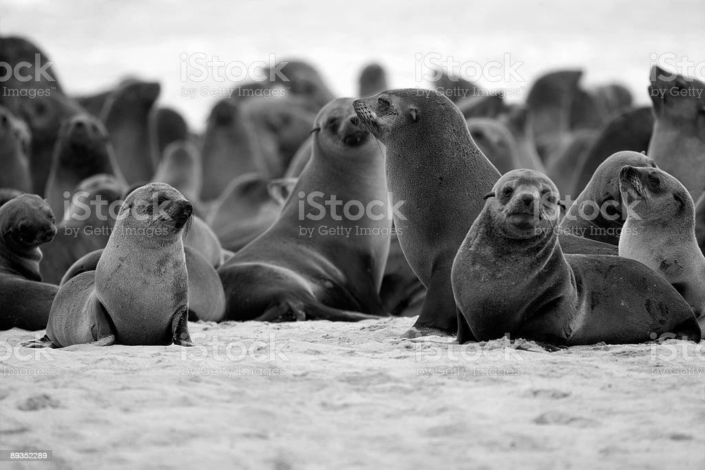 Seal Colony on Skeleton Coast royalty-free stock photo