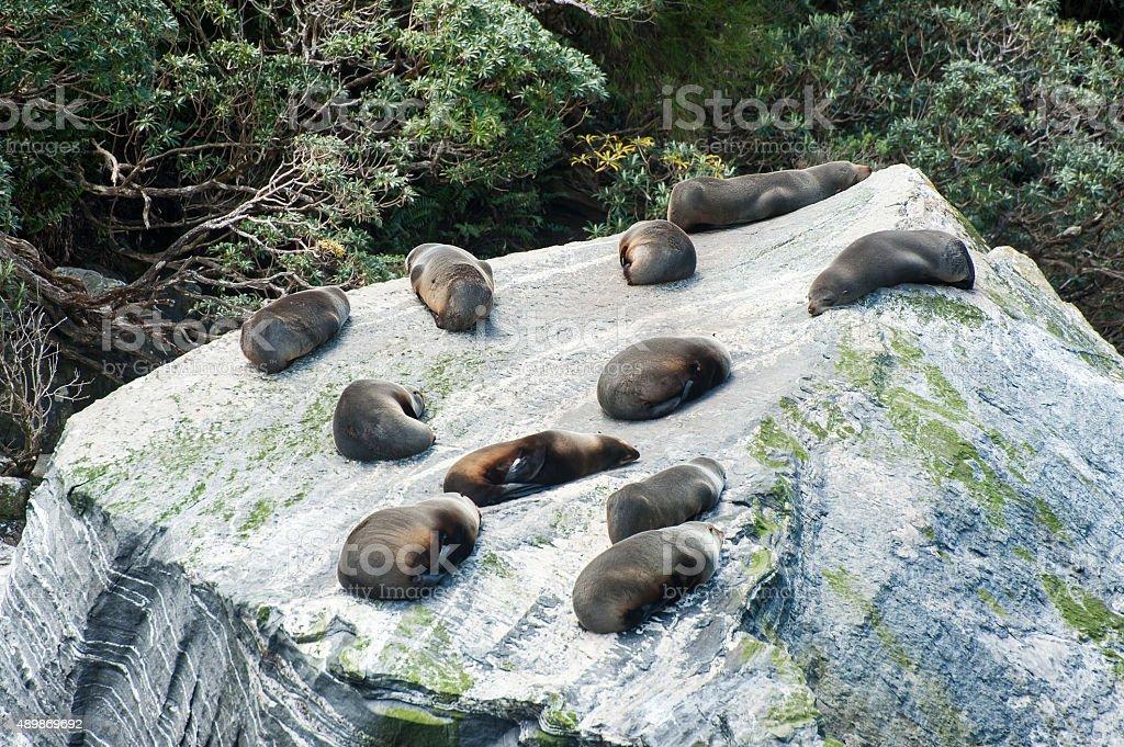 Seal Colony stock photo