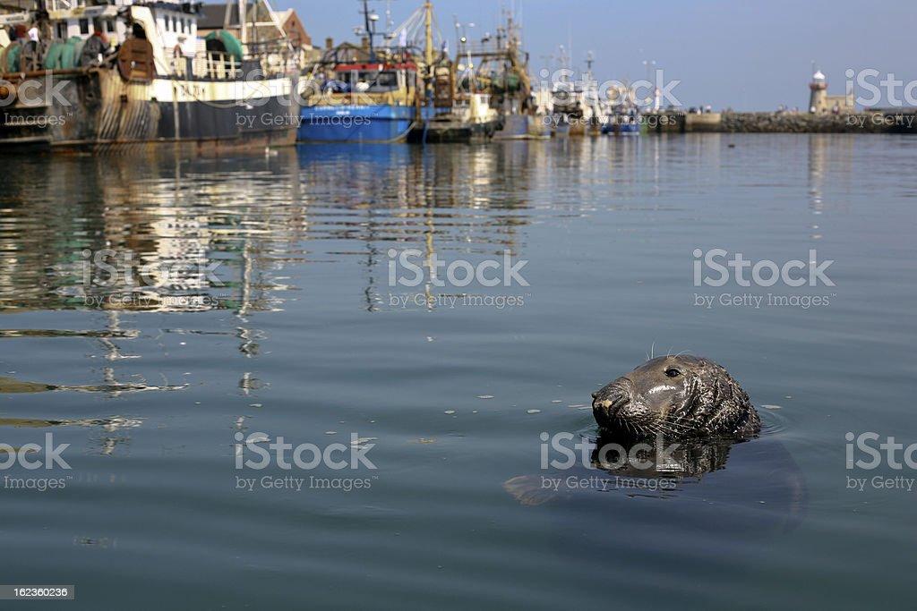 Seal in Howth harbor, Dublin - Ireland stock photo