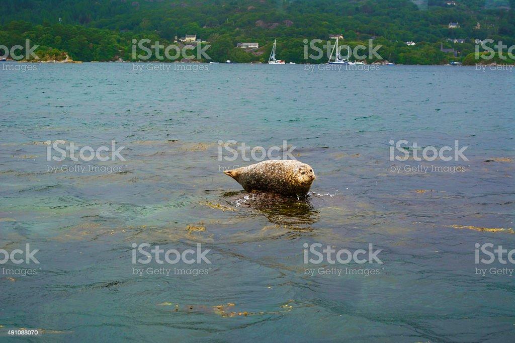 Seal in Ireland stock photo