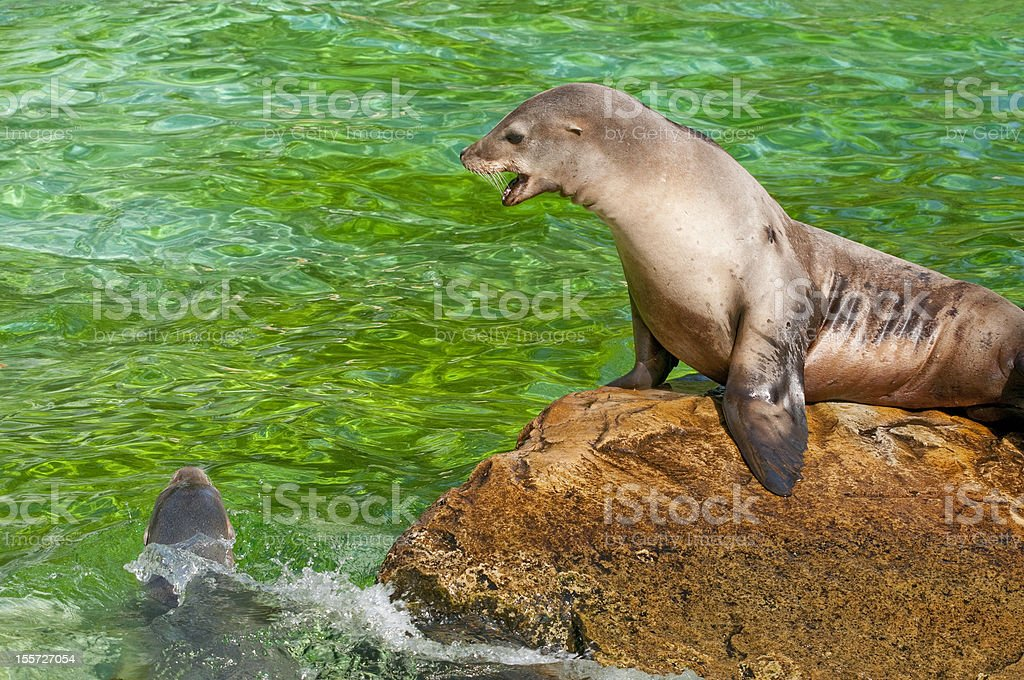 Seal is calling to another. stock photo