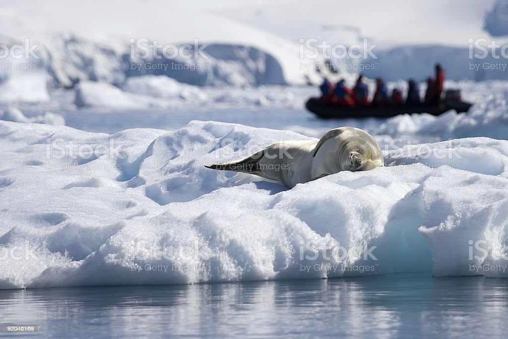seal life in Antarctica stock photo