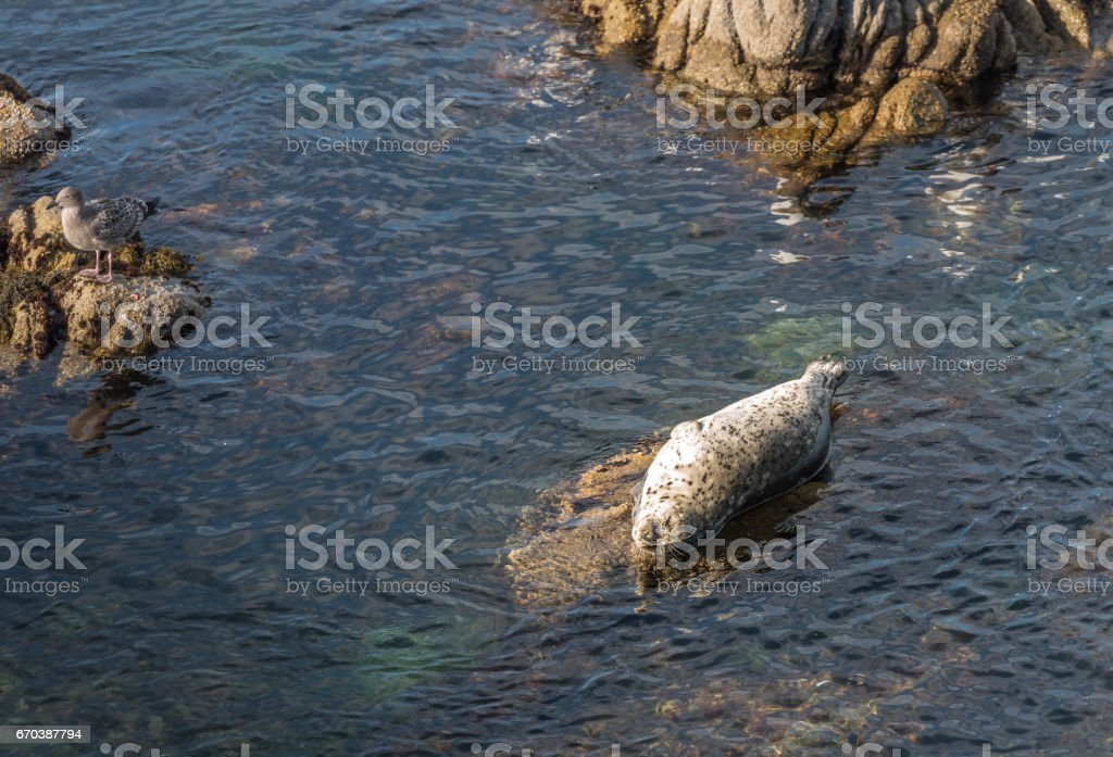 Seal lying on rock in Pacific Ocean stock photo
