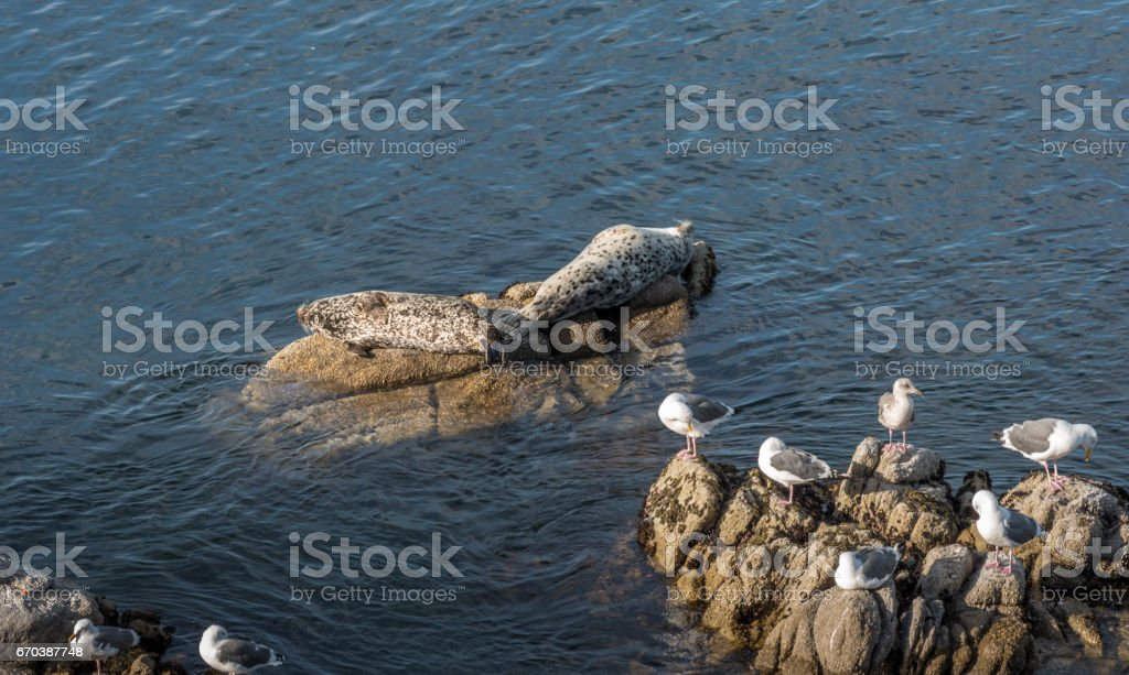 Seal lying on rock in Pacific sea stock photo