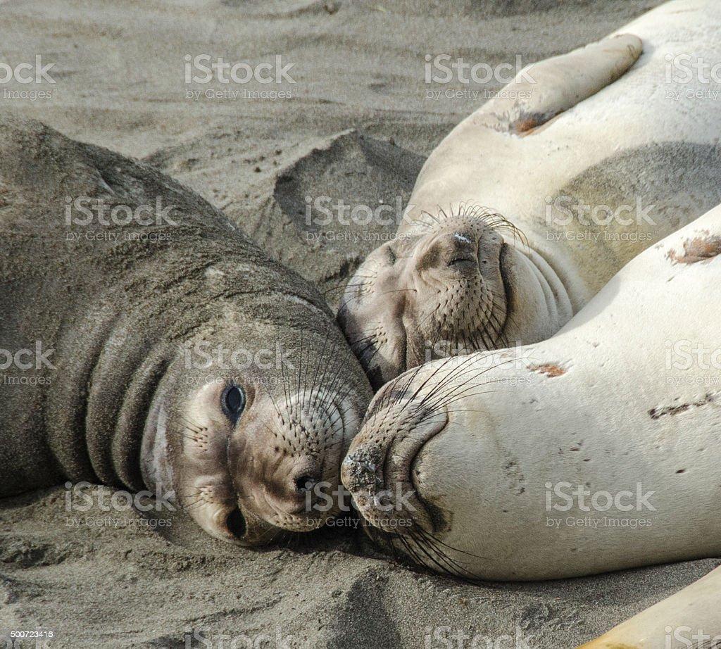 Seal nap stock photo