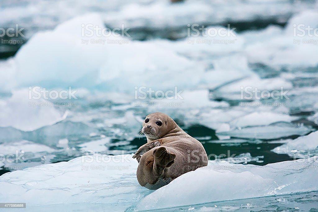 Seal on a Glacier stock photo