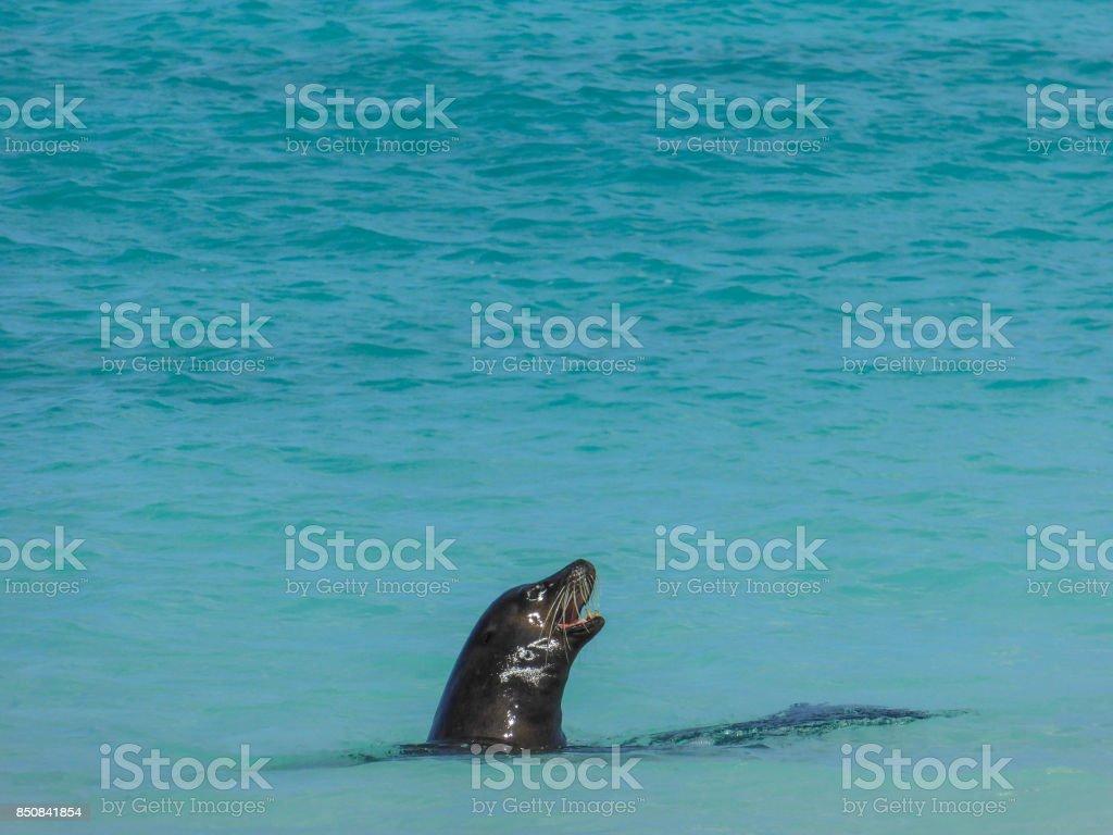 Seal on Galapagos Island stock photo