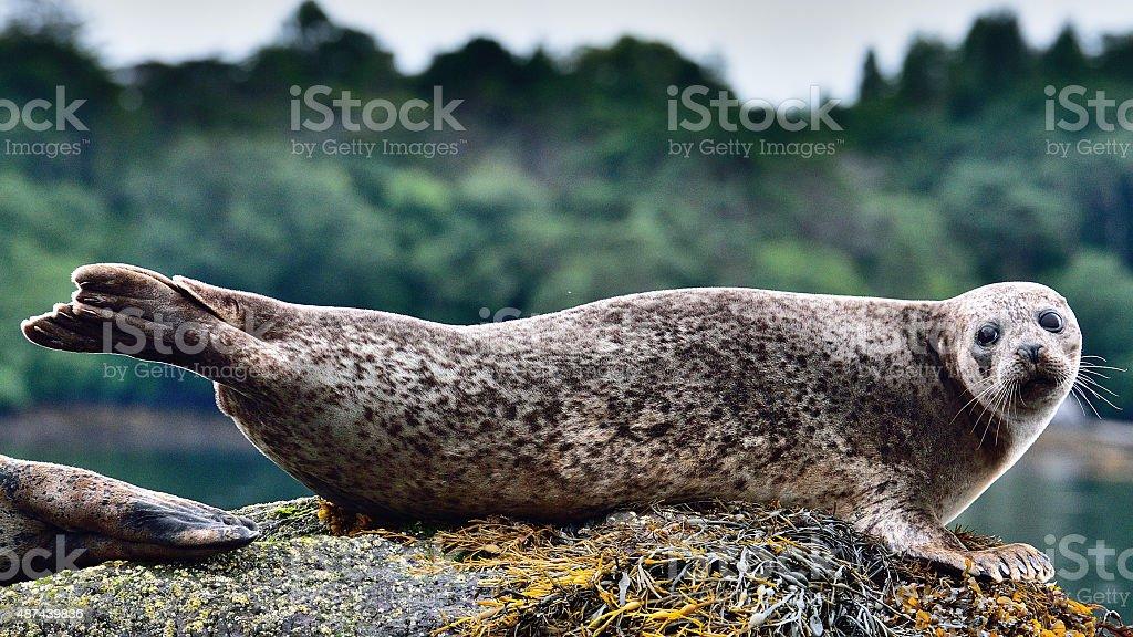 Seal on Garinish Island stock photo