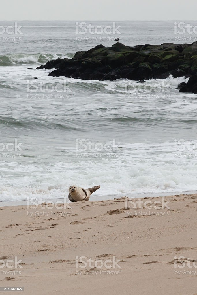 Seal on the Beach stock photo