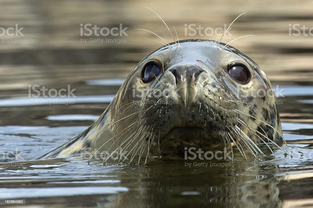 seal royalty-free stock photo