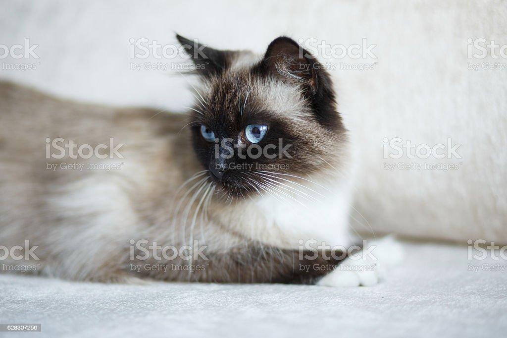 Seal point Sacred Birman cat royalty-free stock photo