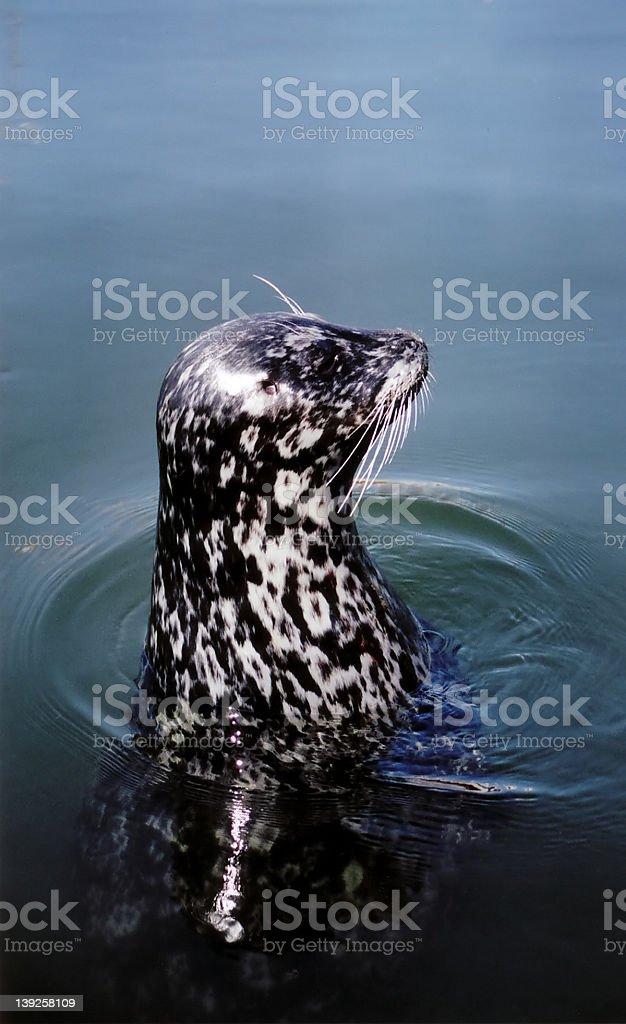 Seal Portrait stock photo