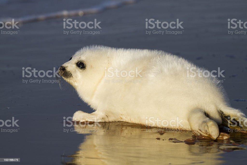 Seal Pup on Beach stock photo