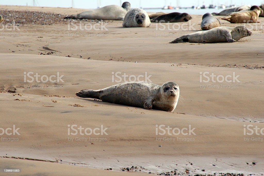 Seal pup on shore royalty-free stock photo