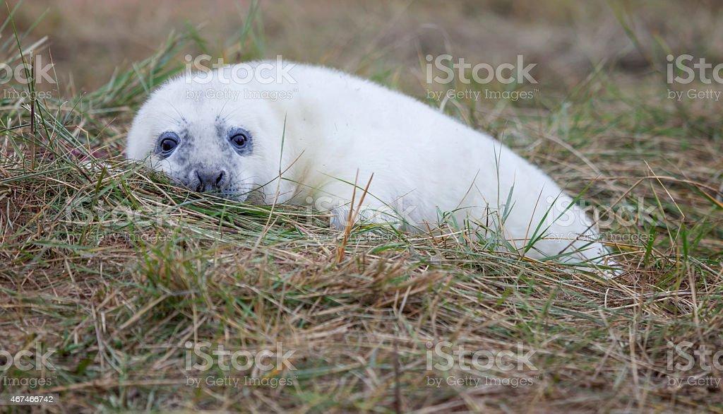Seal Pup stock photo