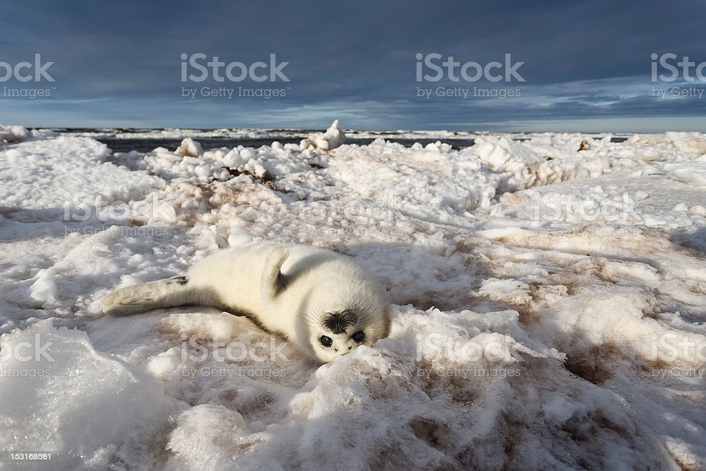 Seal Pup Washed on Shore stock photo
