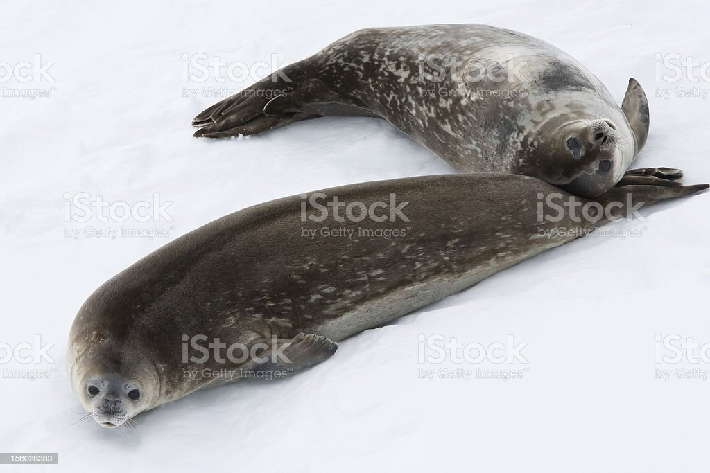Seal rests royalty-free stock photo