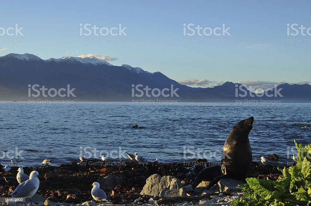 Seal, sea and mountains stock photo