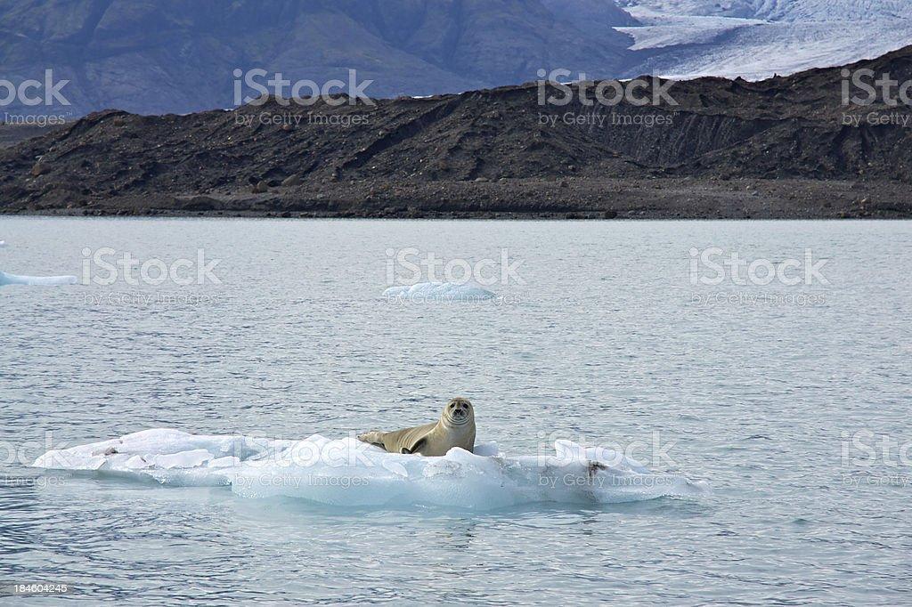 Seal sunbathing on iceberg stock photo