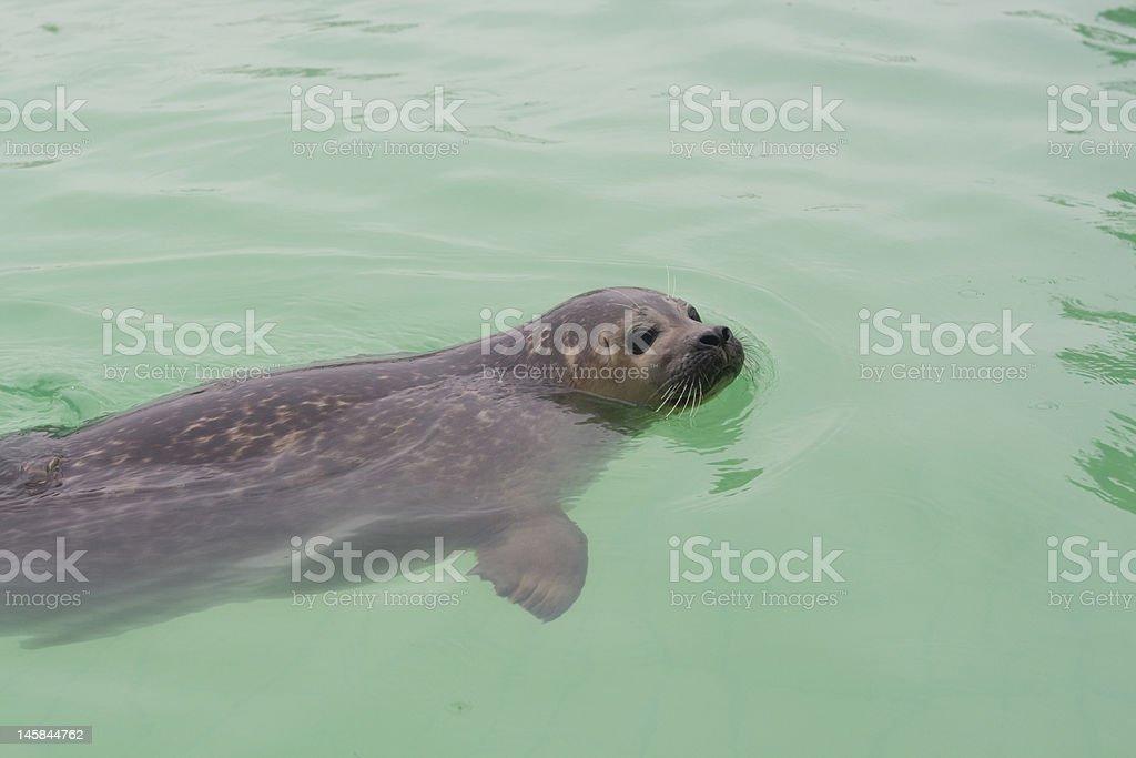 seal swimming stock photo