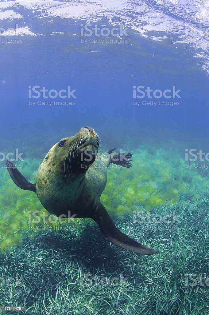 sealion looked up stock photo