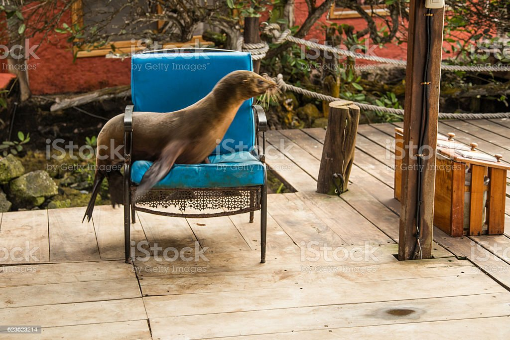 Sealion on the Galapagos stock photo