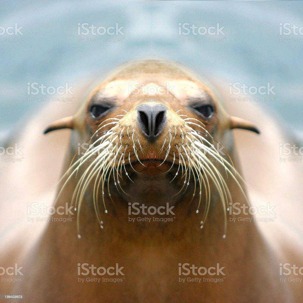 Sealion stock photo