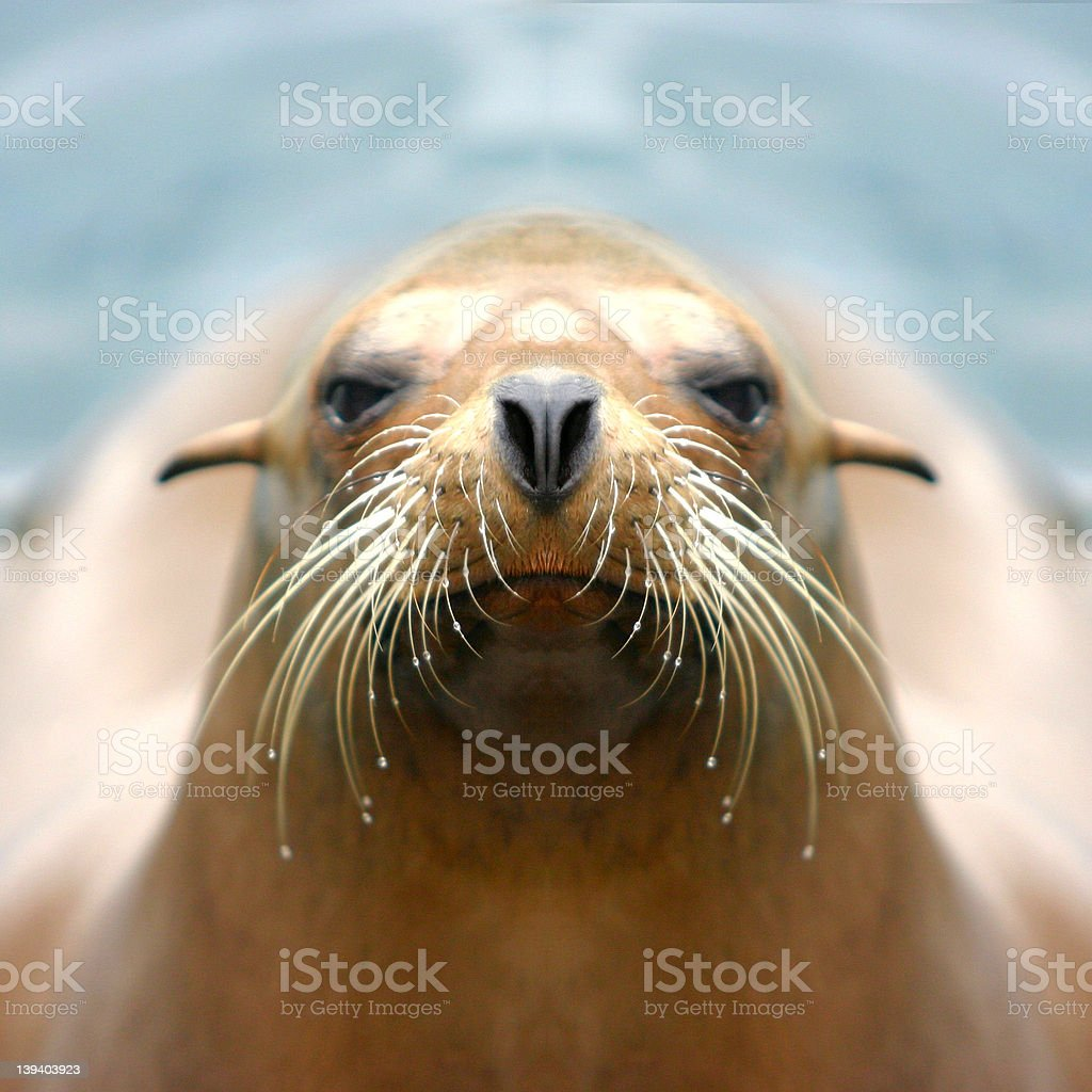 Sealion stock photo