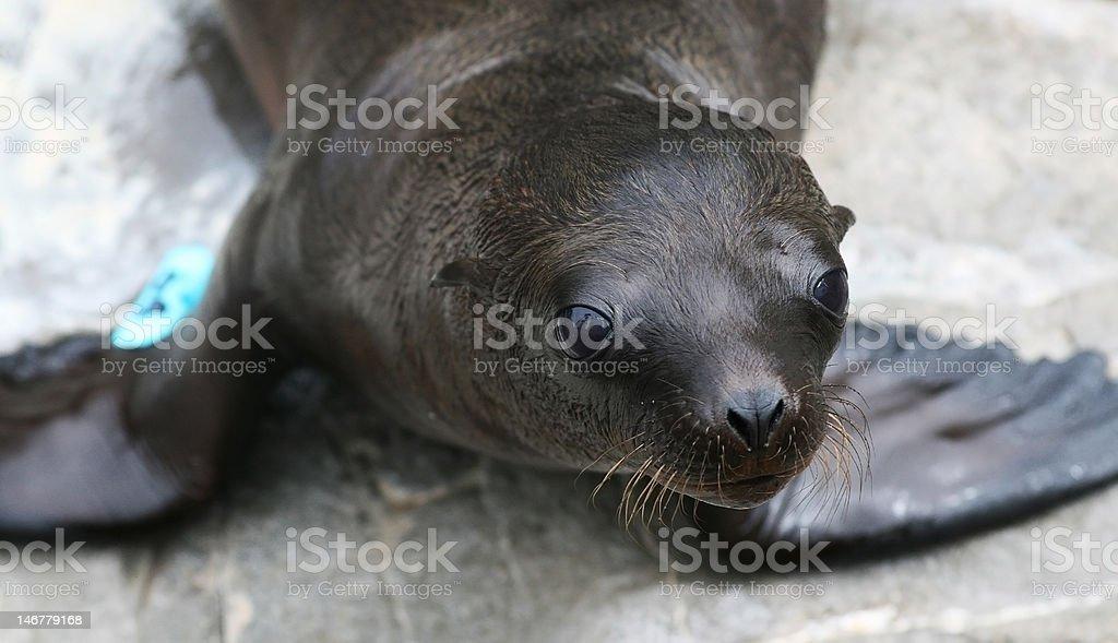 Sealion Pup Close Up stock photo