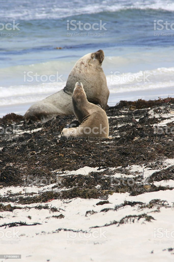 Sea-lion, Seal bay, kangaroo island, australia royalty-free stock photo