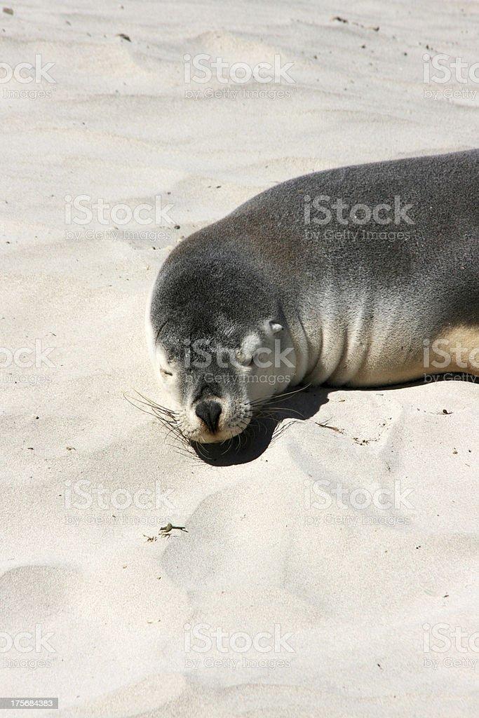 Sea-lion, seal bay, Kangaroo island, Australia royalty-free stock photo