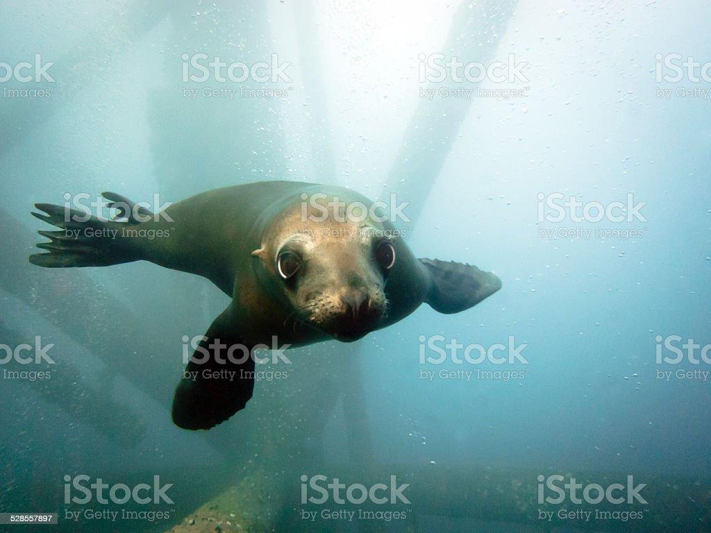 Sealion Swimming stock photo