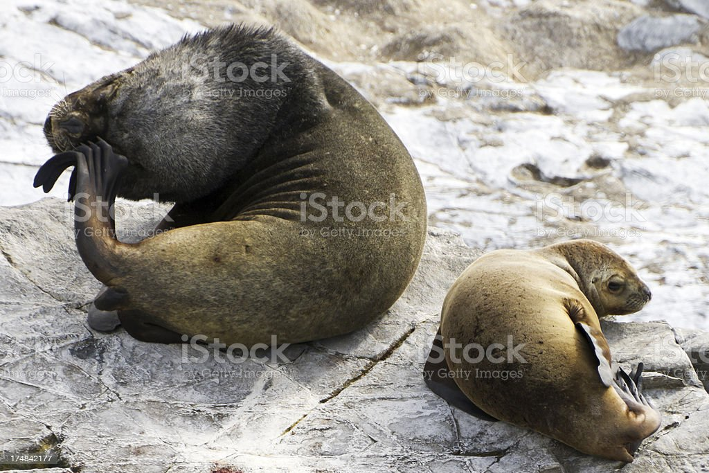 Sealion with baby royalty-free stock photo