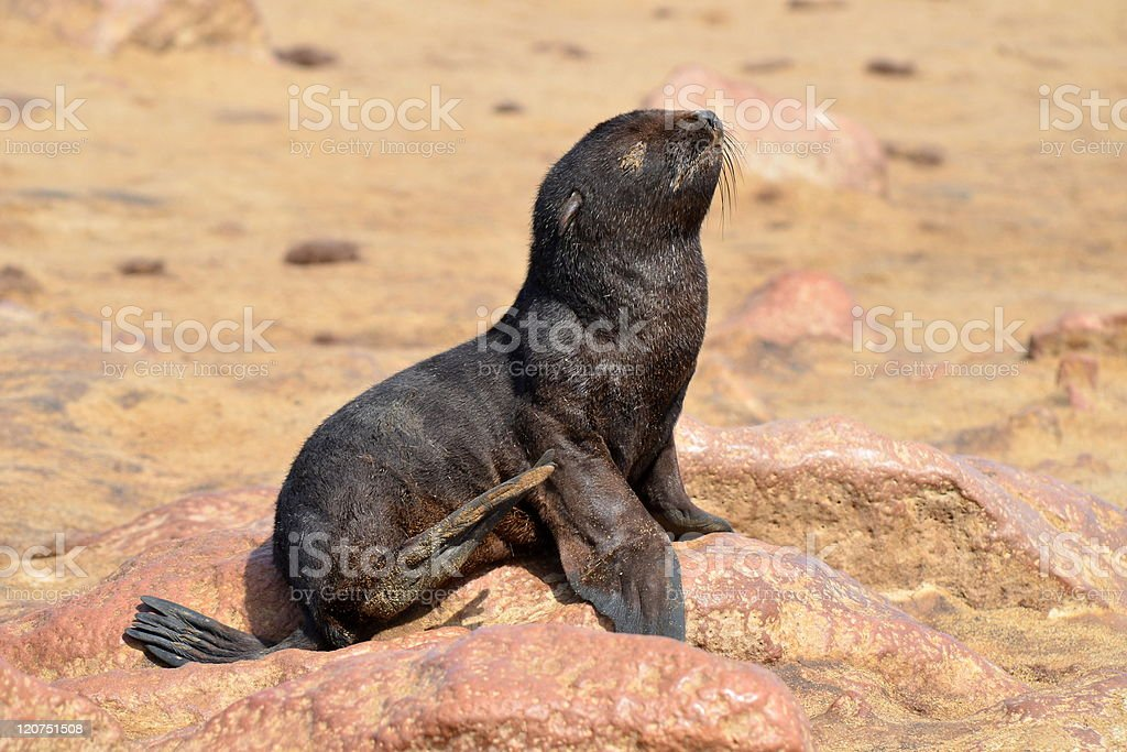 seals baby royalty-free stock photo
