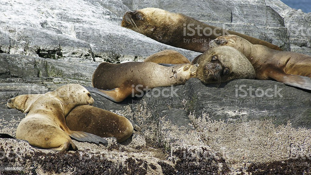 Seals, Beagle Channel, Argentina royalty-free stock photo