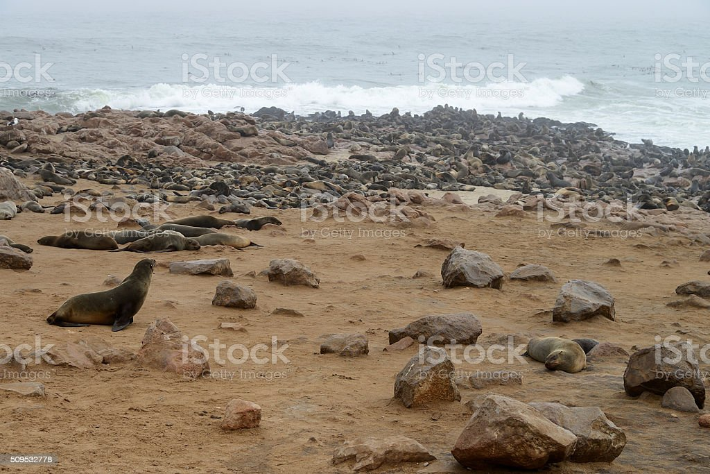 Seals, Cape Cross, Namibia stock photo