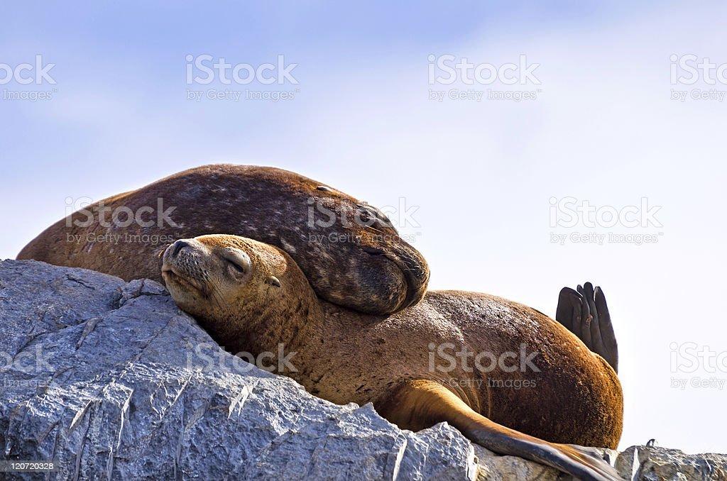 Seals embracing stock photo