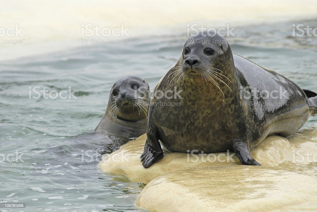 Seals in a basin royalty-free stock photo